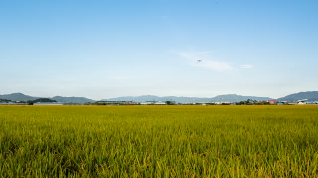View of gold rice paddy in the Gimhae plain