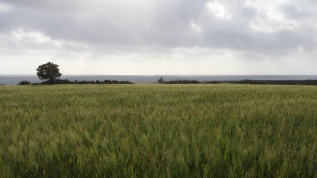 View of grain field, before harvest