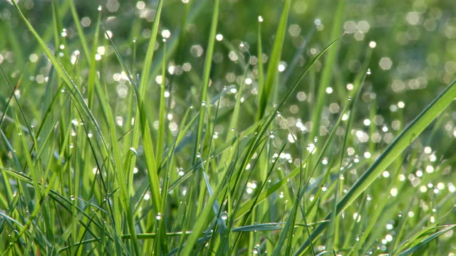 vidéos et rushes de ms view of grass with dewdrops / kastel, rhineland-palatinate, germany - rosée