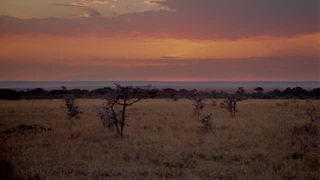 WS View of grassland with scattered trees at sunset / Masai Mara, Kenya