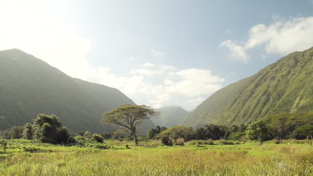 ws pan view of grassy field with tree and mountains and goat grazing in distance / kauai, hawaii, united states - wiese video stock e b–roll
