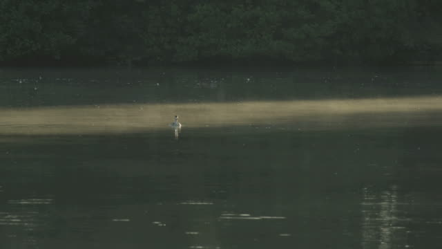 ws view of great crested grebe swimming in lake covered with fog at dawn / godalming, surrey, uk - rosso stock videos & royalty-free footage