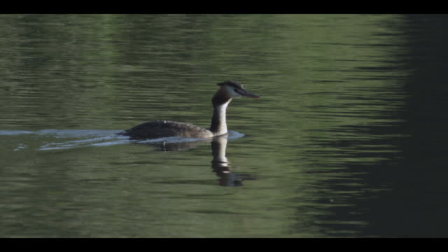 ms pan view of great crested grebe swimming in lake during morning / godalming, surrey, uk - breitwandformat stock-videos und b-roll-filmmaterial