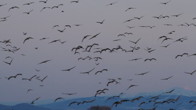 WS View of Greater sandhill cranes flying to feeding grounds at dawn / Monte Vista, Colorado, United States