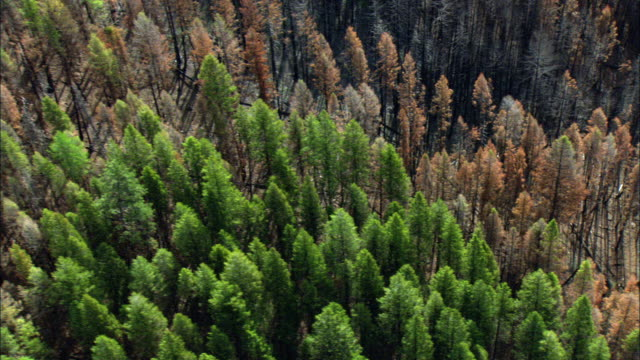 aerial view of green and burnt trees in forest / marion, montana, usa - burnt stock videos & royalty-free footage
