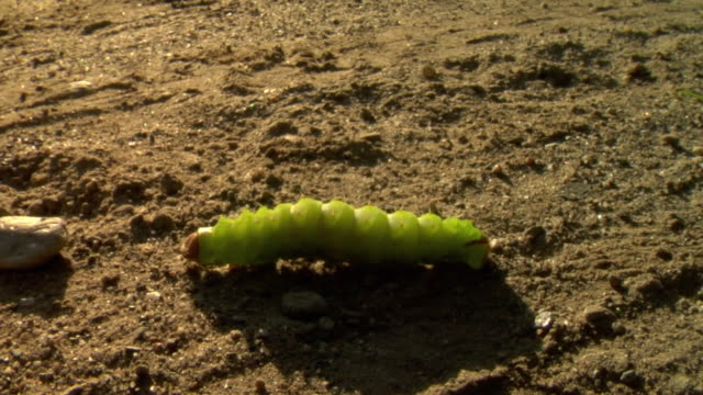 cu view of green caterpillar crawling on soil / stowe, vermont, usa - stowe vermont stock videos & royalty-free footage