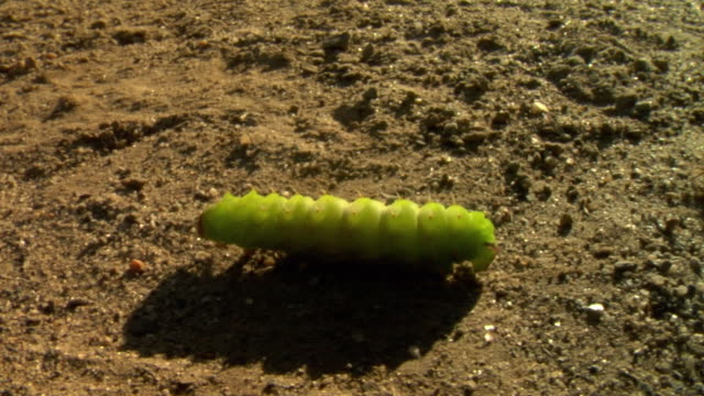 cu ts view of green caterpillar crawling on soil / stowe, vermont, usa - stowe vermont stock videos & royalty-free footage