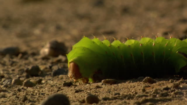 ecu view of green caterpillar crawling on soil / stowe, vermont, usa - stowe vermont stock videos & royalty-free footage