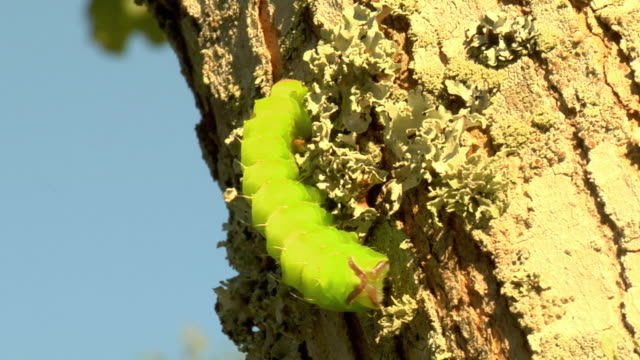 cu view of green caterpillar crawling through fungus on tree trunk / stowe, vermont, usa - stowe vermont stock videos & royalty-free footage
