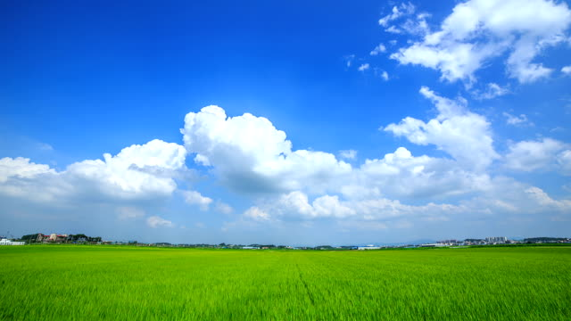 View of green rice paddy and cumulus clouds against blue sky