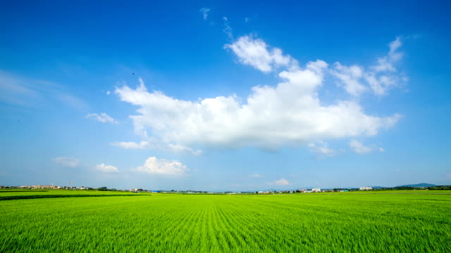 View of green rice paddy and flowing cumulus clouds against blue sky