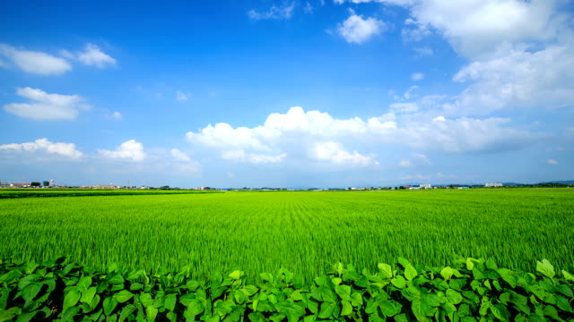 View of green rice paddy and swaying plant and flowing cumulus clouds against blue sky