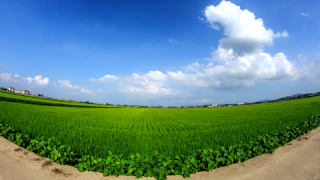View of green rice paddy and swaying plant at roadside