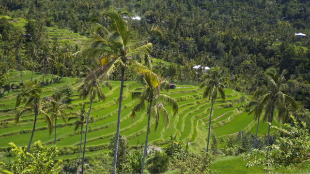View of green rice terrace fields and palm trees