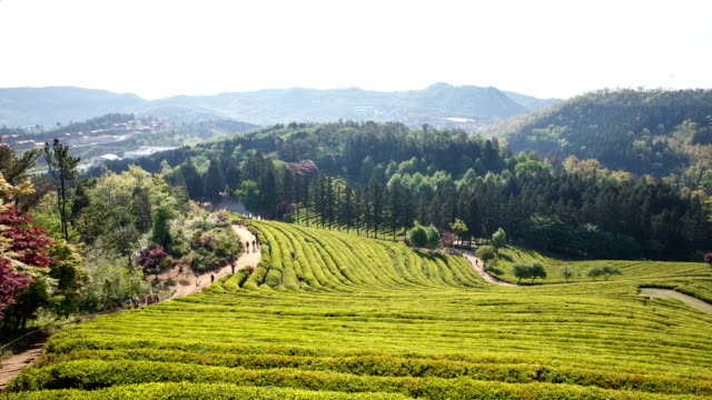 View of green tea field