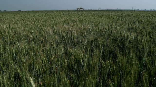 ws pov view of green wheat field / samalkha, haryana, india - haryana stock-videos und b-roll-filmmaterial