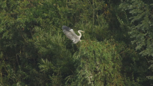 ws pan view of grey heron landing on branch with fish in mouth / godalming, surrey, uk - bunter reiher stock-videos und b-roll-filmmaterial
