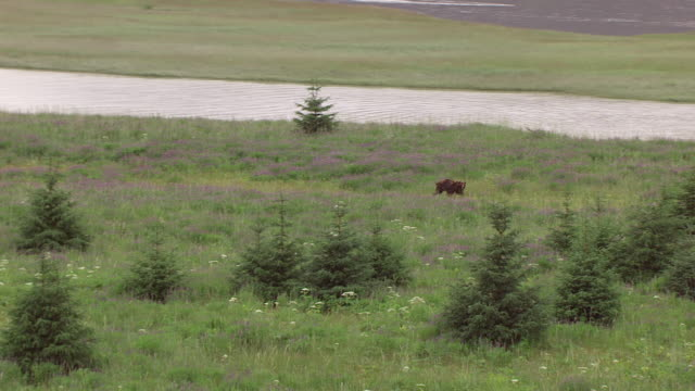 ws aerial ts view of grizzly bear running through grass and trees in berners bay area / alaska, united states - くま点の映像素材/bロール