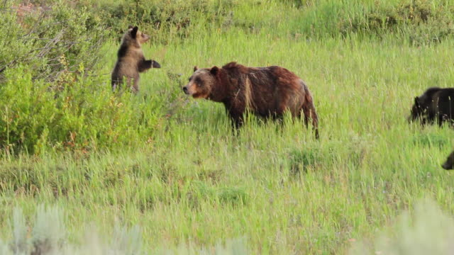 vídeos y material grabado en eventos de stock de ws view of grizzly sow with three spring cubs walking and standing in meadow at sunset / tetons, wyoming, united states - grupo pequeño de animales