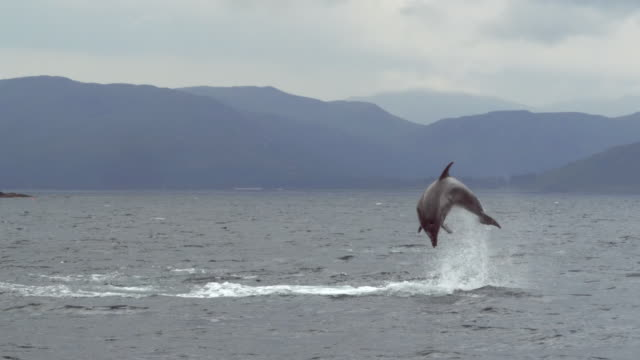 """""""ws pan slo mo view of group of bottlenose dolphins tursiops trucatus travelling / isle of mull, argyll and bute, scotland """" - mull stock-videos und b-roll-filmmaterial"""