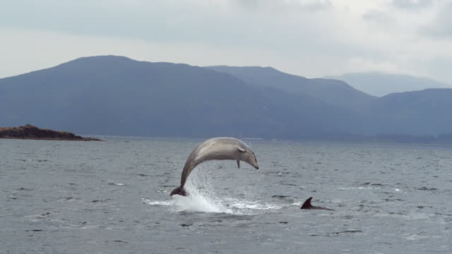 """WS SLO MO View of Group of bottlenose dolphins Tursiops trucatus travelling / Isle of Mull, Argyll and Bute, Scotland """