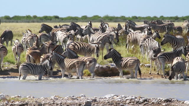 ms view of group of zebras drinking water at small pond / ongava, kunene, namibia - wilde tiere stock-videos und b-roll-filmmaterial