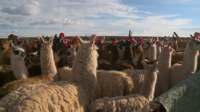 view of grouped andean llamas, altiplano, bolivia - lama oggetto creato dall'uomo video stock e b–roll