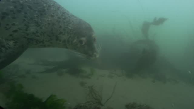 view of harbor seals swimming under the sea in ongjin-gun (natural habitat for endangered birds), incheon - harbour seal stock videos & royalty-free footage