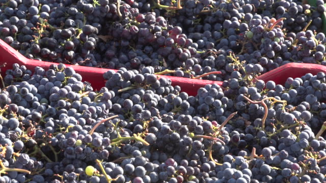 view of harvested red grapes. - viniculture stock videos & royalty-free footage