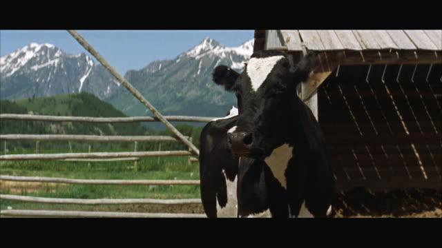 stockvideo's en b-roll-footage met ms cu view of head of black and white holstein - breedbeeldformaat