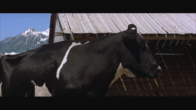 MS CU view of head of black and white holstein