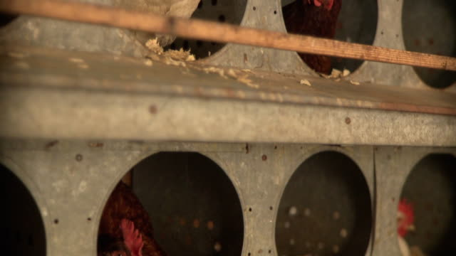 cu tu td view of hen in nest box / wilmington, illinois, usa  - chicken coop stock videos & royalty-free footage
