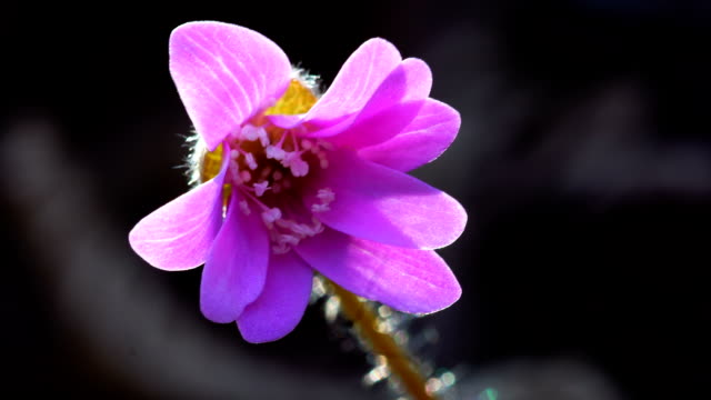 View of Hepatica asiatica Nakai (blossom Asiatica flower)