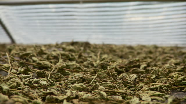 cu pan view of herbs drying  / burlington, vermont, usa  - drying stock videos & royalty-free footage