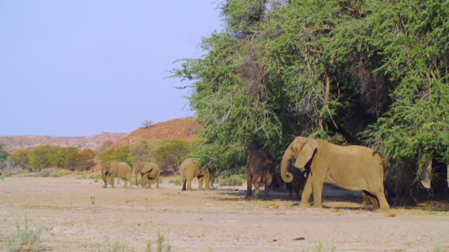 vídeos de stock, filmes e b-roll de ws view of herd of african elephants eating tree leaves / etosha national park, namibia - grupo médio de animais