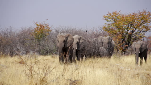 vídeos de stock, filmes e b-roll de ws ts view of herd of african elephants walking in savannah / etosha national park, namibia - grupo médio de animais