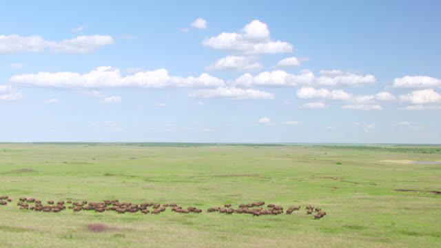 WS AERIAL View of Herd of bison running in prairie at tallgrass prairie preserve / Oklahoma, United States