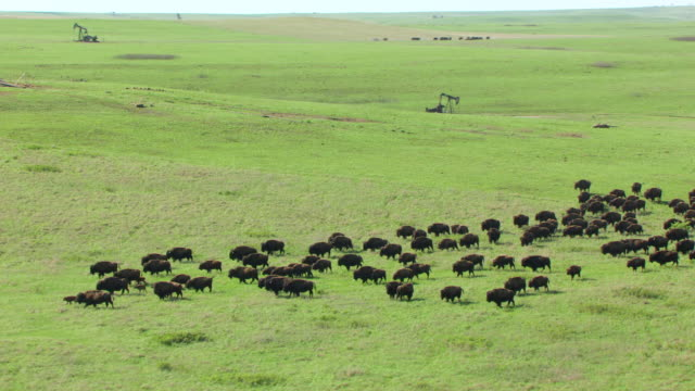 ws aerial zo view of herd of bison walking in prairie and tallgrass prairie preserve / oklahoma, united states - american bison stock videos & royalty-free footage