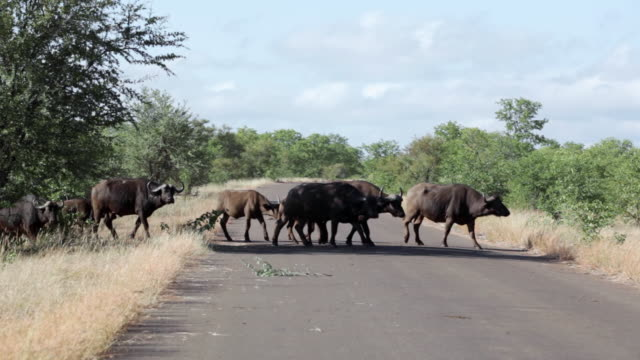 ms view of herd of buffalo crossing road / kruger national park, limpopo, south africa - wild cattle stock videos & royalty-free footage