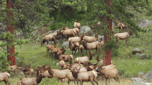 ws view of herd of cow elk assembling on hillside at dusk / tetons, wyoming, united states - grazing stock videos & royalty-free footage