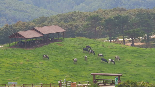ws view of herd of dairy cattle feeding on grass in daegwallyeong pasture (tourist attractions) / pyeongchang, gangwon do, south korea - pyeongchang stock videos and b-roll footage