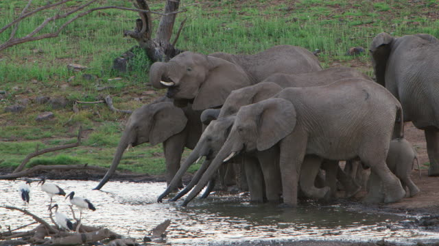 WS SLO MO View of Herd of Elephant arrives at the waterhole to drink / Pilanesberg, Gauteng, South Africa