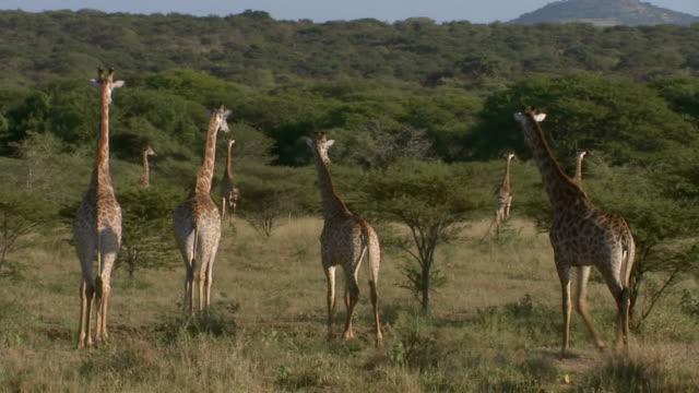 vídeos y material grabado en eventos de stock de ws view of herd of giraffe, thanda private game reserve / kwazulu-natal, south africa - kwazulu natal