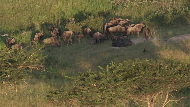 MS AERIAL View of herd of wildebeest in bush / Nelspruit, Mpumalanga, South Africa