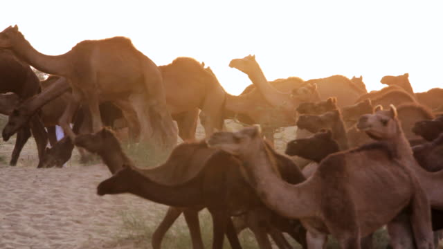 ms view of herds of camels with camel fair / pushkar, rajasthan, india  - camel stock videos & royalty-free footage