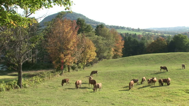 View of herds of cow grazing on hillside in Vermont United States