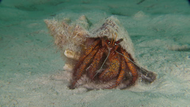 MS View of Hermit crab / Mabul, Sabah, Malaysia