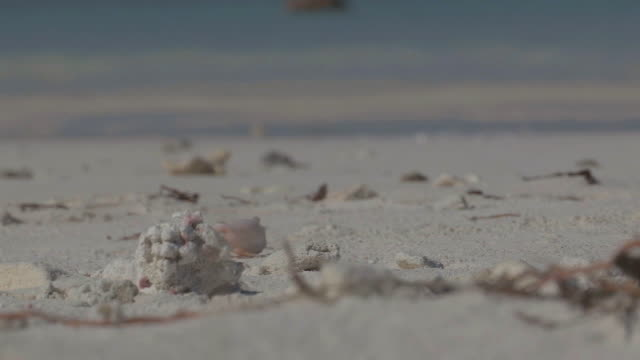 MS View of Hermit Crab Searching for Food / Keeling, Shire of Cocos, Australia