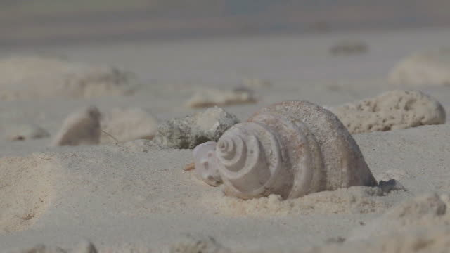ms view of hermit crab searching for food / keeling, shire of cocos, australia - animal shell stock videos & royalty-free footage