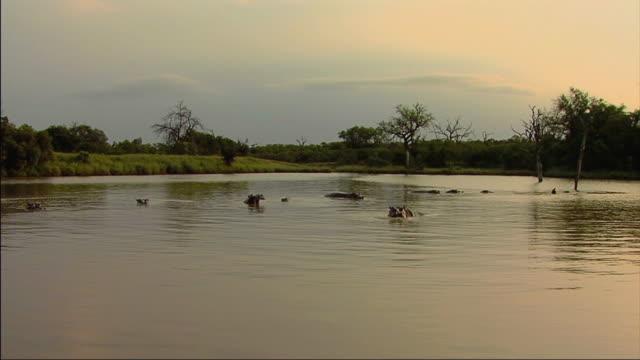 vídeos de stock, filmes e b-roll de ws view of hippopotamus in lake / lowfeld, swaziland  - grupo médio de animais